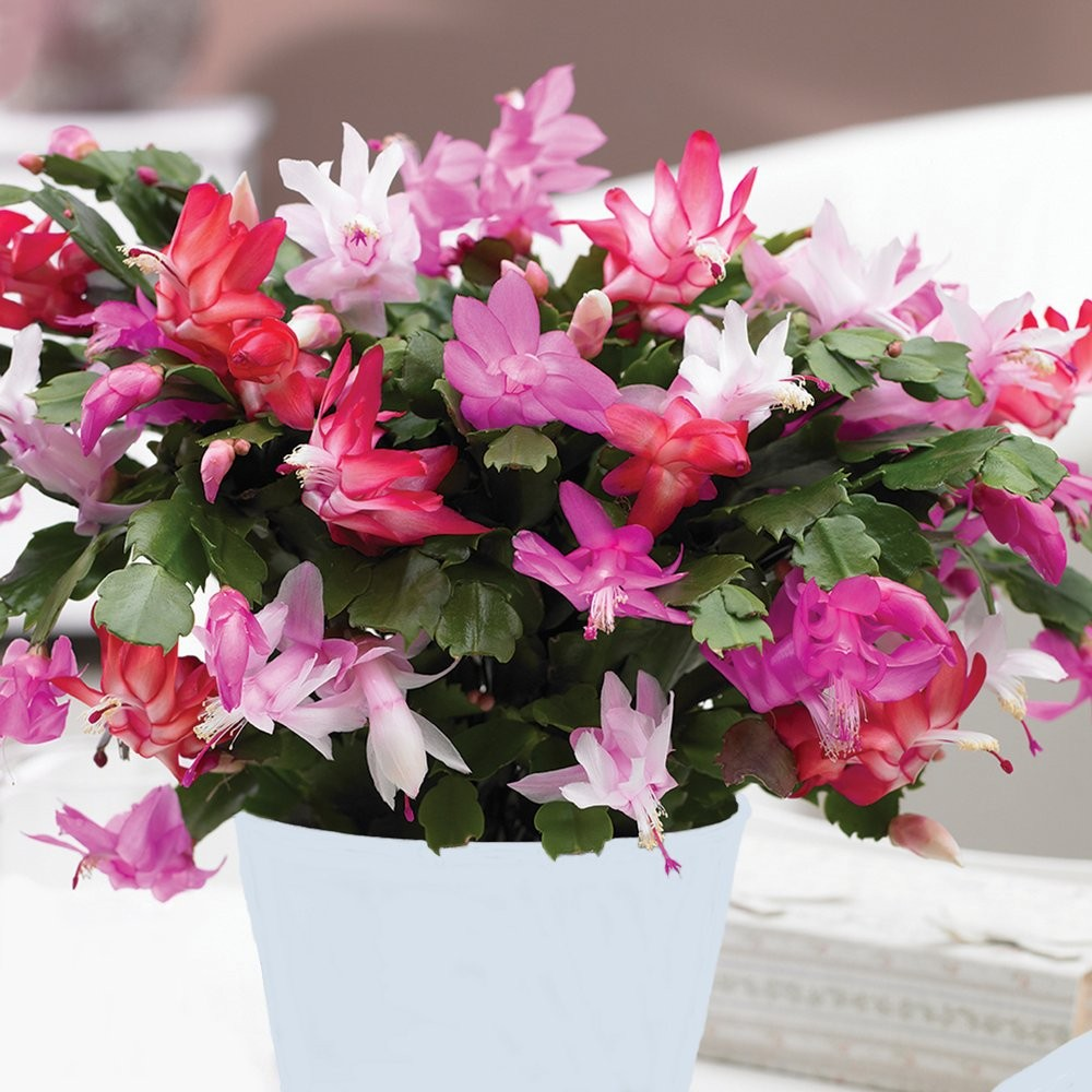 LARGE Tricolour Christmas Cactus Plants in Bud in White Pot