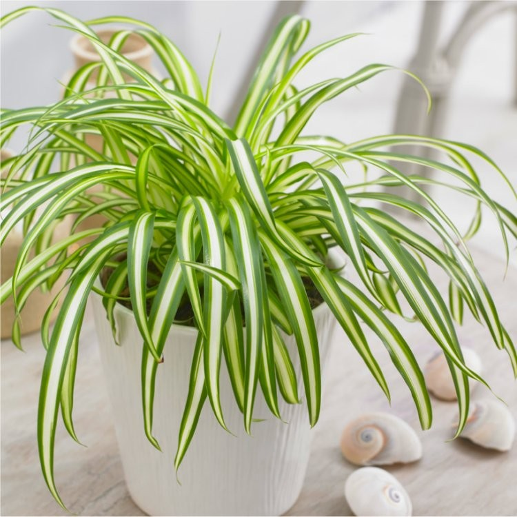 Growing Spider Plants Indoors: Variegated Spider Plant