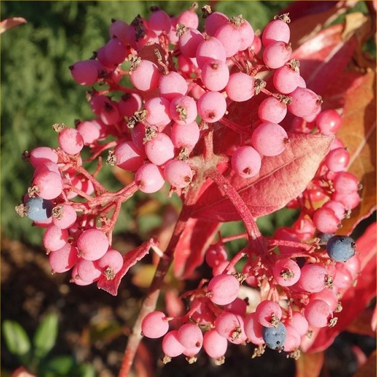 Viburnum nudum pink beauty larger plant mightylinksfo