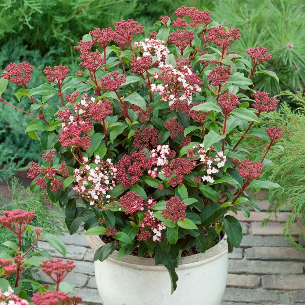 special deal evergreen viburnum tinus laurustinus pack of three