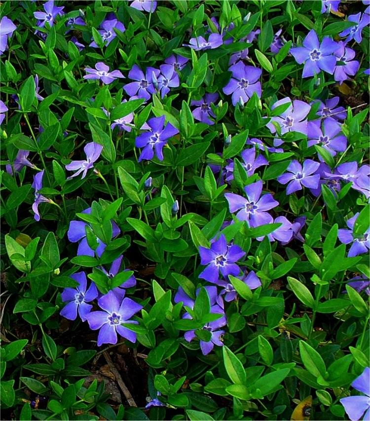 Vinca minor blue flowered evergreen ground cover lesser vinca minor blue flowered evergreen ground cover lesser periwinkle plant mightylinksfo