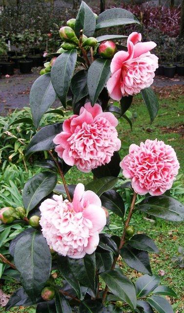 volunteer-camellia-plant Camellia As Houseplant on