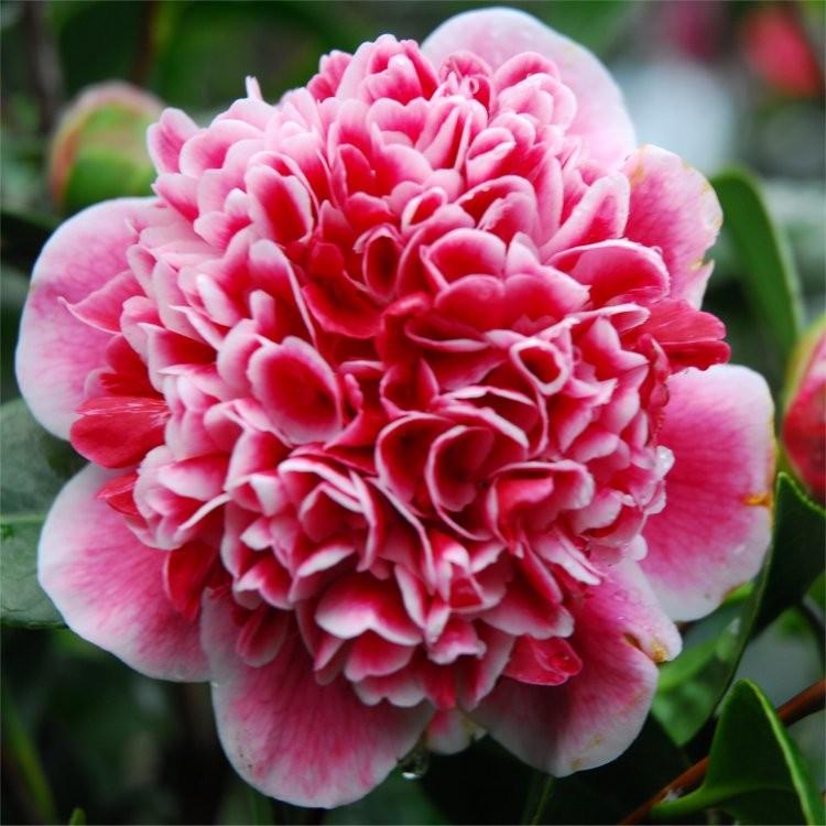 camellia japonica volunteer exquisite large flowered. Black Bedroom Furniture Sets. Home Design Ideas