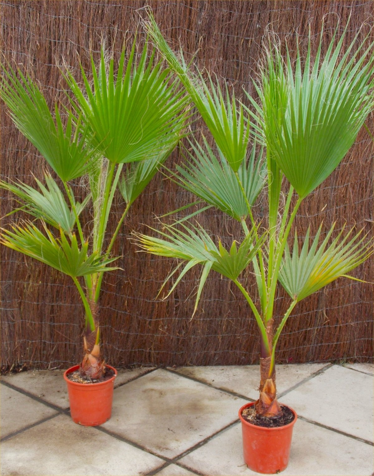Charming SPECIAL DEAL   Mexican Fan Palm   Washingtonia Robusta For Patio Or Deck    Approx 100 120cms Tall