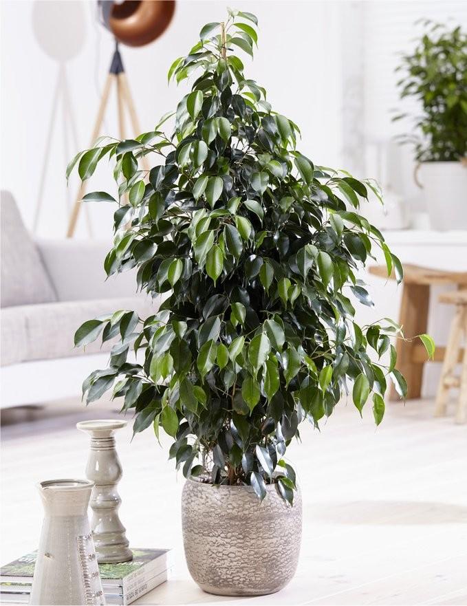 ficus benjamina 39 danita 39 weeping fig tree. Black Bedroom Furniture Sets. Home Design Ideas