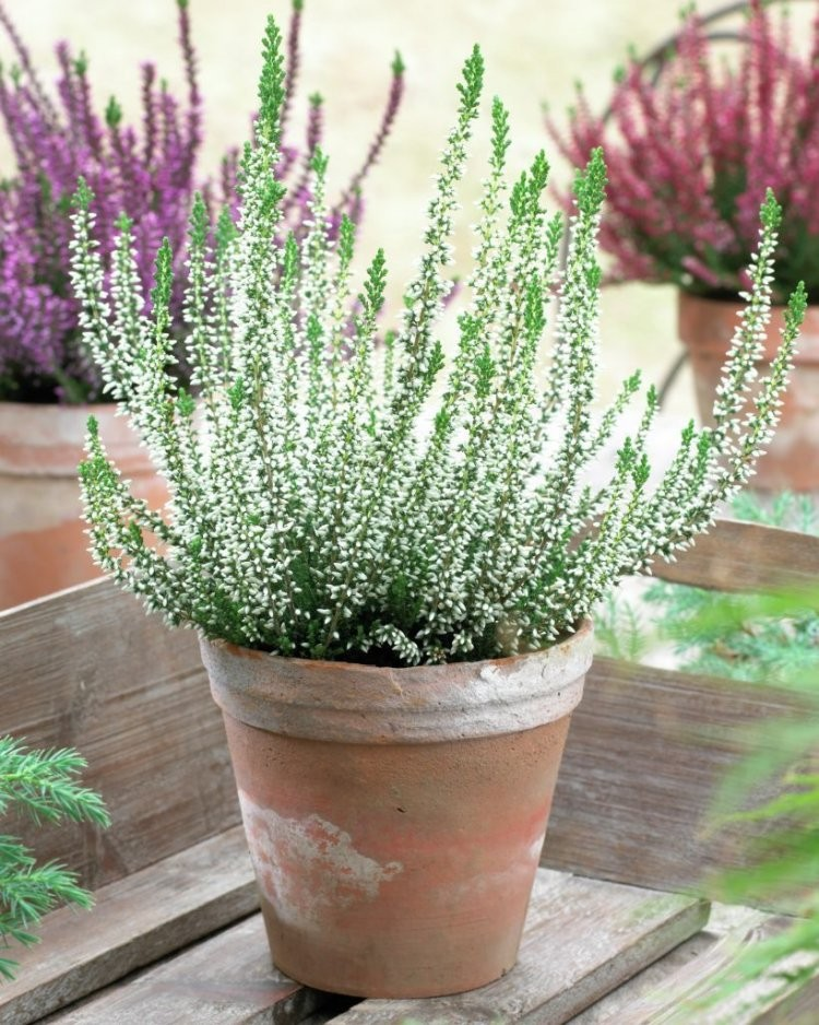Special deal heathers pack of three white flowering calluna special deal heathers pack of three white flowering calluna heather plants mightylinksfo