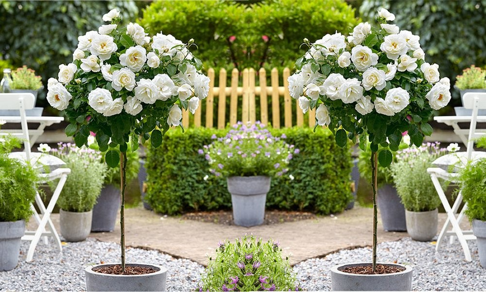 Pair of large standard white flowering garden rose trees mightylinksfo
