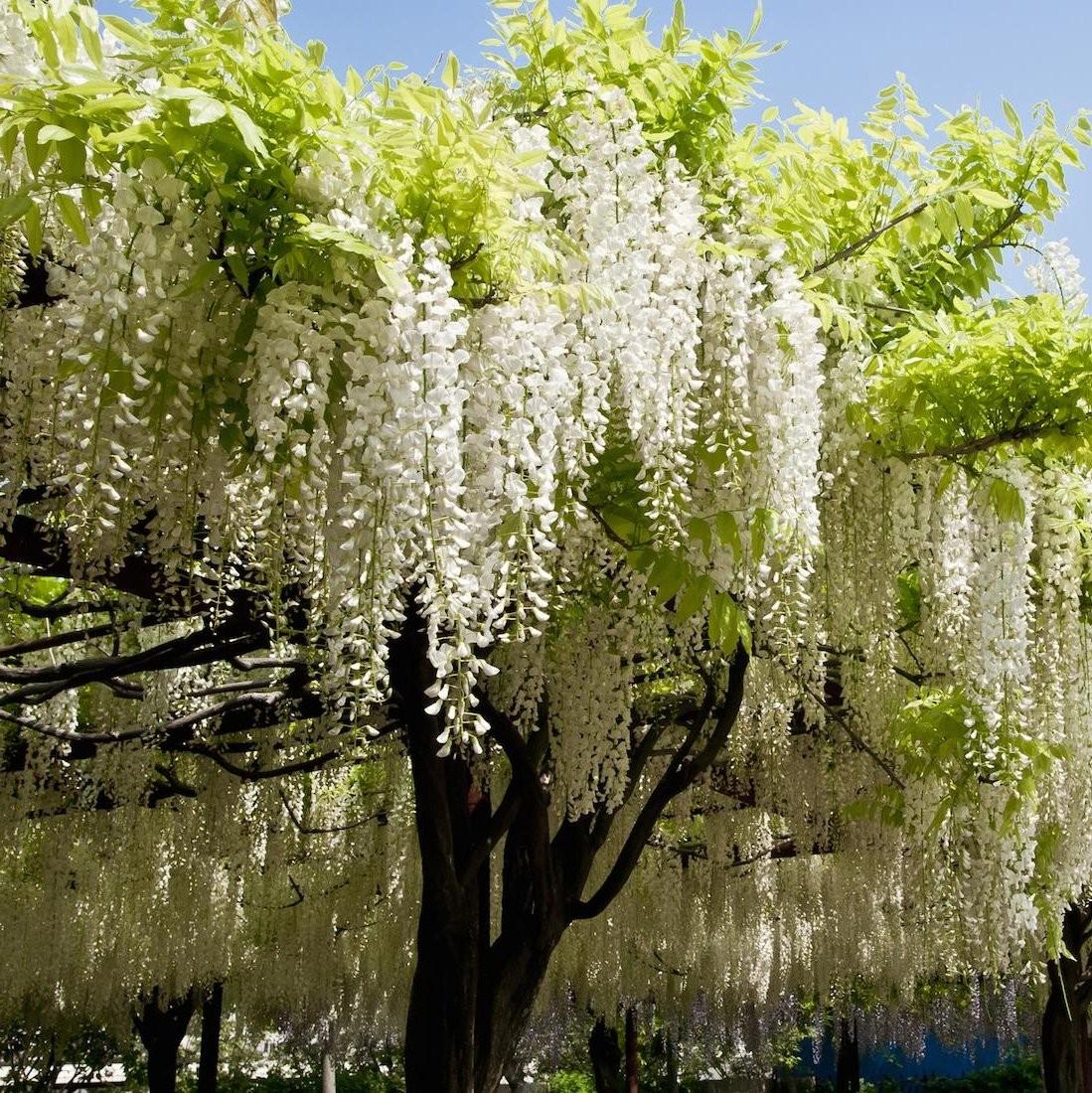Wisteria brachybotrys shiro kapiteyn fuji rare white for The wisteria