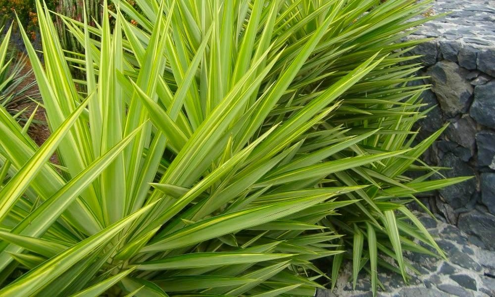 Special Deal Large Patio Adams Needle Yucca Jewel Palm Trees