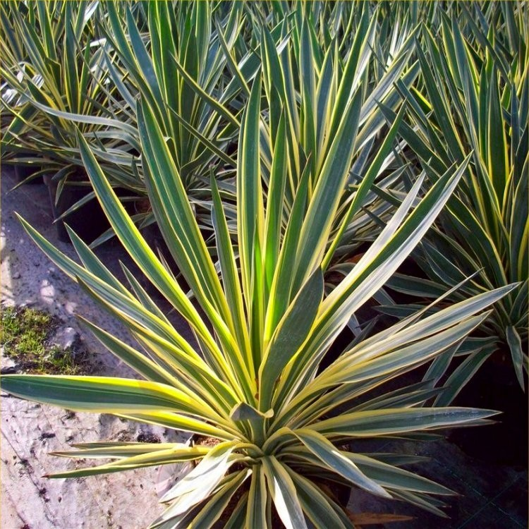 yucca gloriosa variegata adams needle. Black Bedroom Furniture Sets. Home Design Ideas