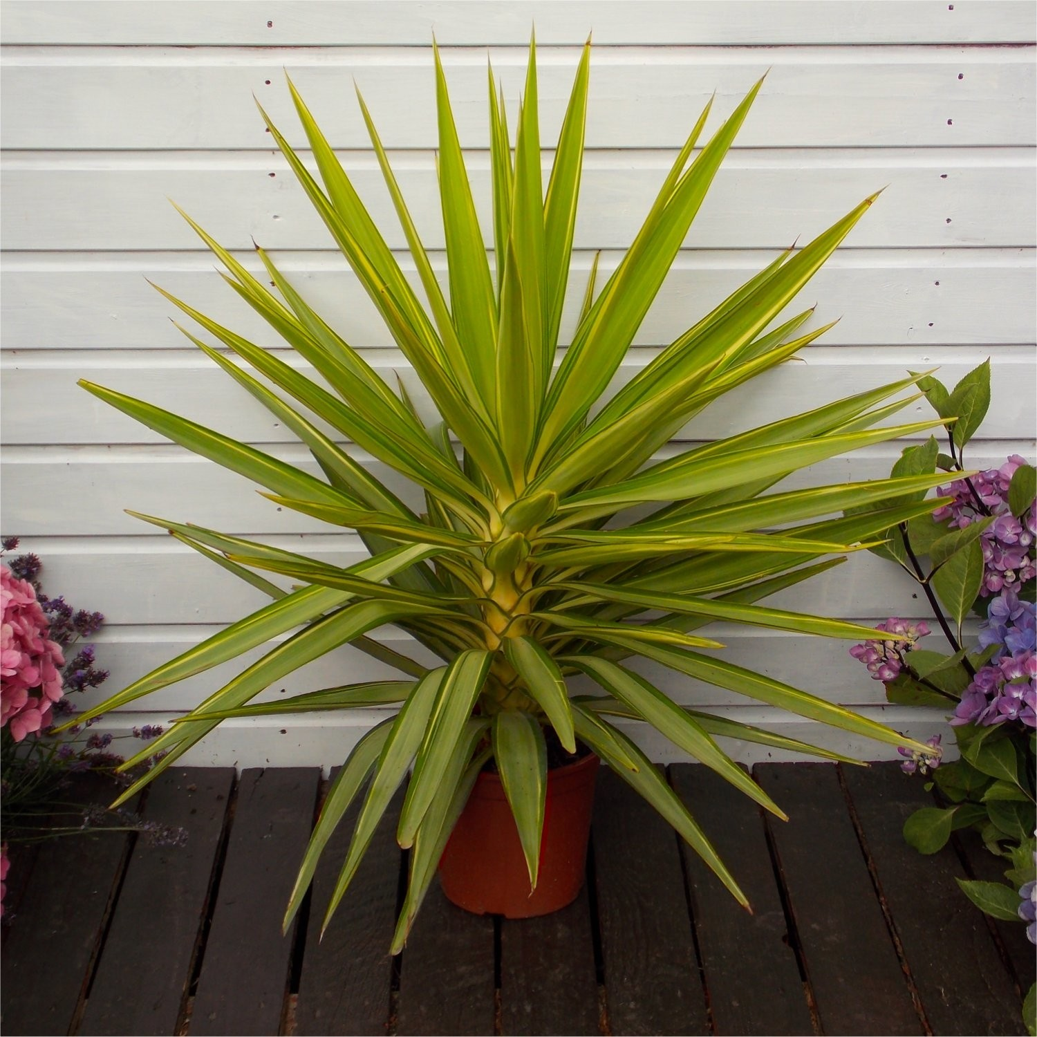 SPECIAL DEAL   LARGE Patio Adams Needle Yucca Jewel Palm Trees   80 100cms