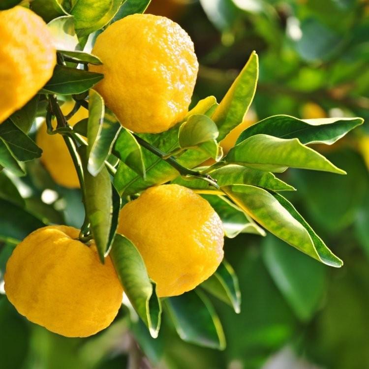 Yuzu Lime - Citrus Tree - 80-120cms - Garden Plants