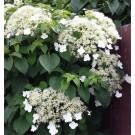 Hydrangea petiolaris - Climbing Hydrangea - Pack of THREE Hydrangea anomala Plants