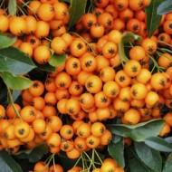 Pyracantha Orange Glow - Firethorn