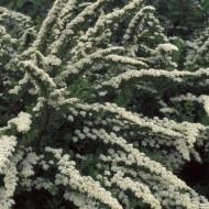 Spirea nipponica Snowmound - Snow mound Spiraea