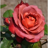 Rose Hot Chocolate - Hot Cocoa Floribunda Shrub Rose