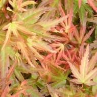 Acer palmatum Wilson's Pink Dwarf - Japanese Maple