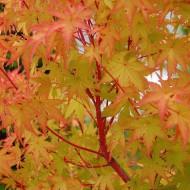 Acer palmatum Sango Kaku - Coral Bark Maple - 100-120cm