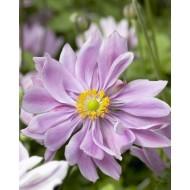 Anemone x hybrida 'Queen Charlotte' - Japanese Anemone