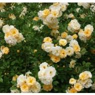 Large 6-7ft Specimen Climbing Rose - Rose Goldfinch