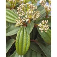 Evergreen Viburnum davidii - Hardy Shrub