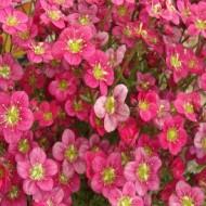 Saxifraga Mossy Red - Saxifrage