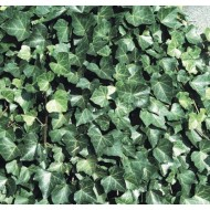 Hedera hibernica - Irish or Boston Ivy - Evergreen Climber