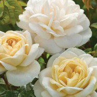 Rose Champagne Moment - Floribunda Bush Rose