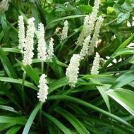 Liriope muscari alba - White Lily Turf