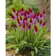 Primula Viallii - Pack of THREE Plants