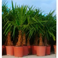 Trachycarpus fortunei - LARGE Hardy Windmill Palm - 100-120cms