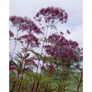Eupatorium purpureum - Joe Pye Weed