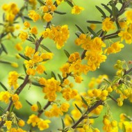 Berberis Stenophylla - Golden Blooming Barberry
