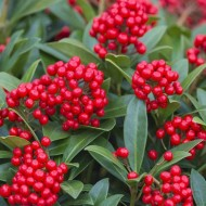 Skimmia japonica 'Olympic Flame' - LARGE Plant