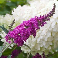 Buddleia Miss Ruby - Buddleja Butterfly Bush