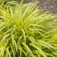 Hakonechloa Macra Aureola - Pack of THREE