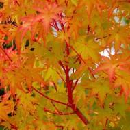 Acer palmatum Sango Kaku - Coral Bark Maple - Extra Large 160-200cm Specimen