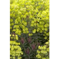 Euphorbia 'Red Wing' - Spurge