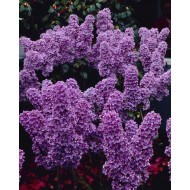 Syringa vulgaris Ludwig Spaeth - Fragrant Purple Lilac