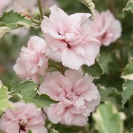 Hibiscus Sugar Tip - Rose of Sharon Double Flowering Variegated Hibiscus