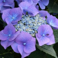 Hydrangea macrophylla Blauling - Blue Bird - Blue teller Lace Cap