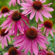 Echinacea purpurea - Purple Cone Flower Plants