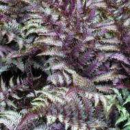 Athyrium niponicum pictum metallicum - Japanese Painted Fern
