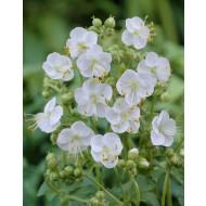 Geranium macrorrhizum White Ness