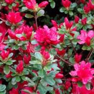 Azalea japonica Hino Crimson - Evergreen Japanese Azalea