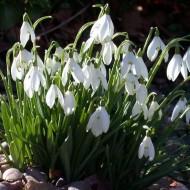 SPECIAL DEAL - Snowdrops - Galanthus nivalis (var. elwesii)