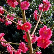 Prunus persica Melred - Peach Tree