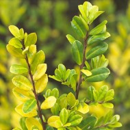 Ilex crenata Golden Gem - Evergreen groundcover