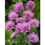 Scabious Pink Mist - Scabiosa - Pincushion Flower
