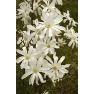 Magnolia Stellata - Tulip Tree